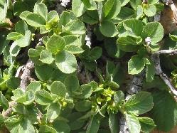 Rhamnuspumila